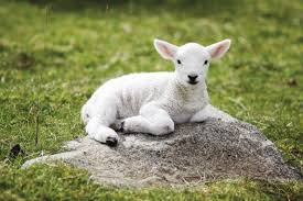 lamb(3)